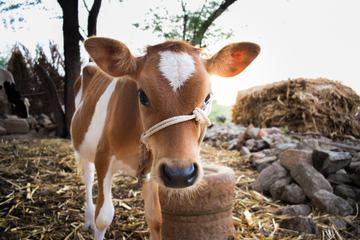 Adorable Calf Portrait