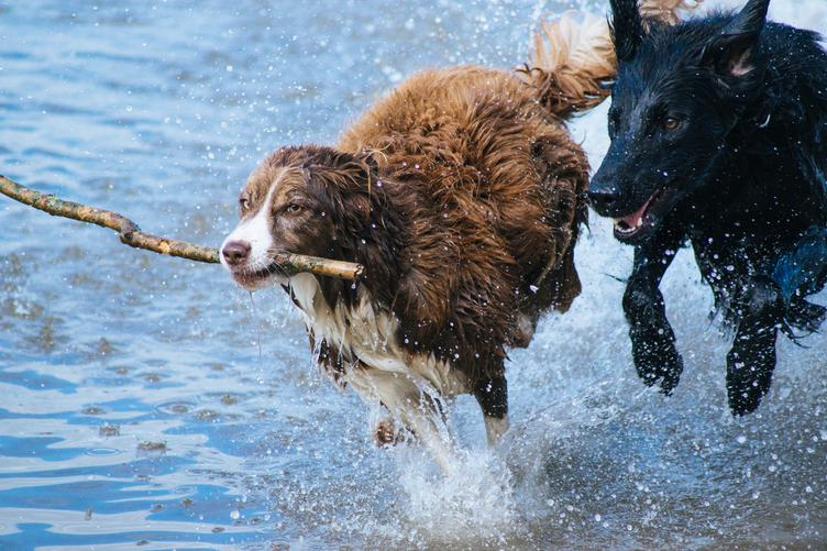 Two Dogs Run along the Beach in the Water