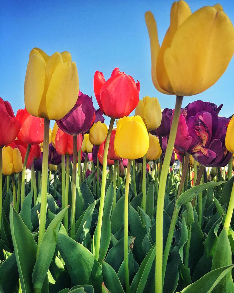 Beautiful Tulip Flowers against Blue Sky