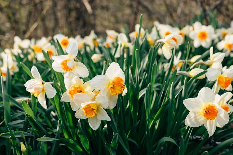 Daffodils on a Meadow