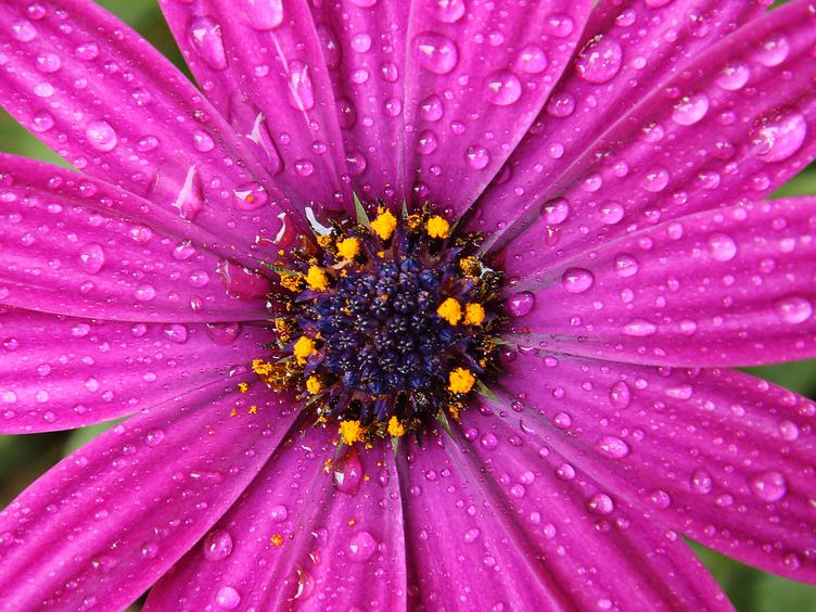Pink Flower Closeup Petals with Water Drops