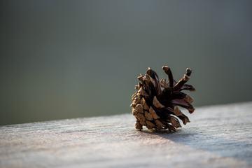 Close Up of Single Pine Cone