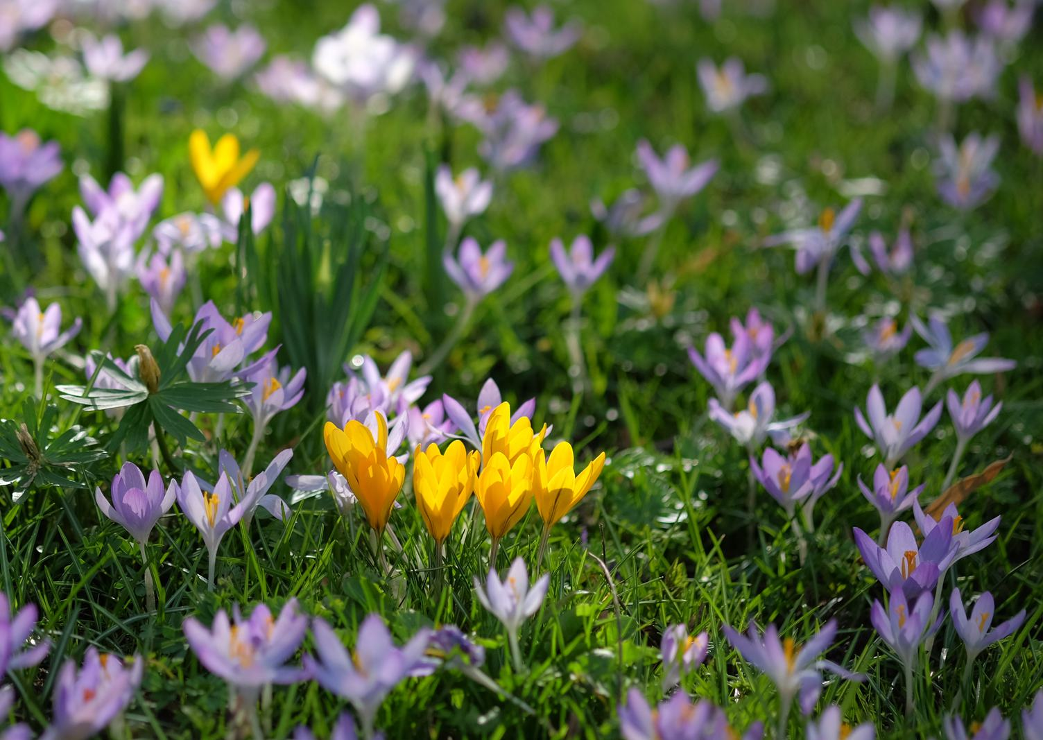 A Field of Purple and Yellow Crocus