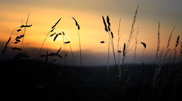 Silhouette of Grass Blades at Sunset