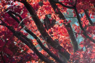 Red Maple Branches