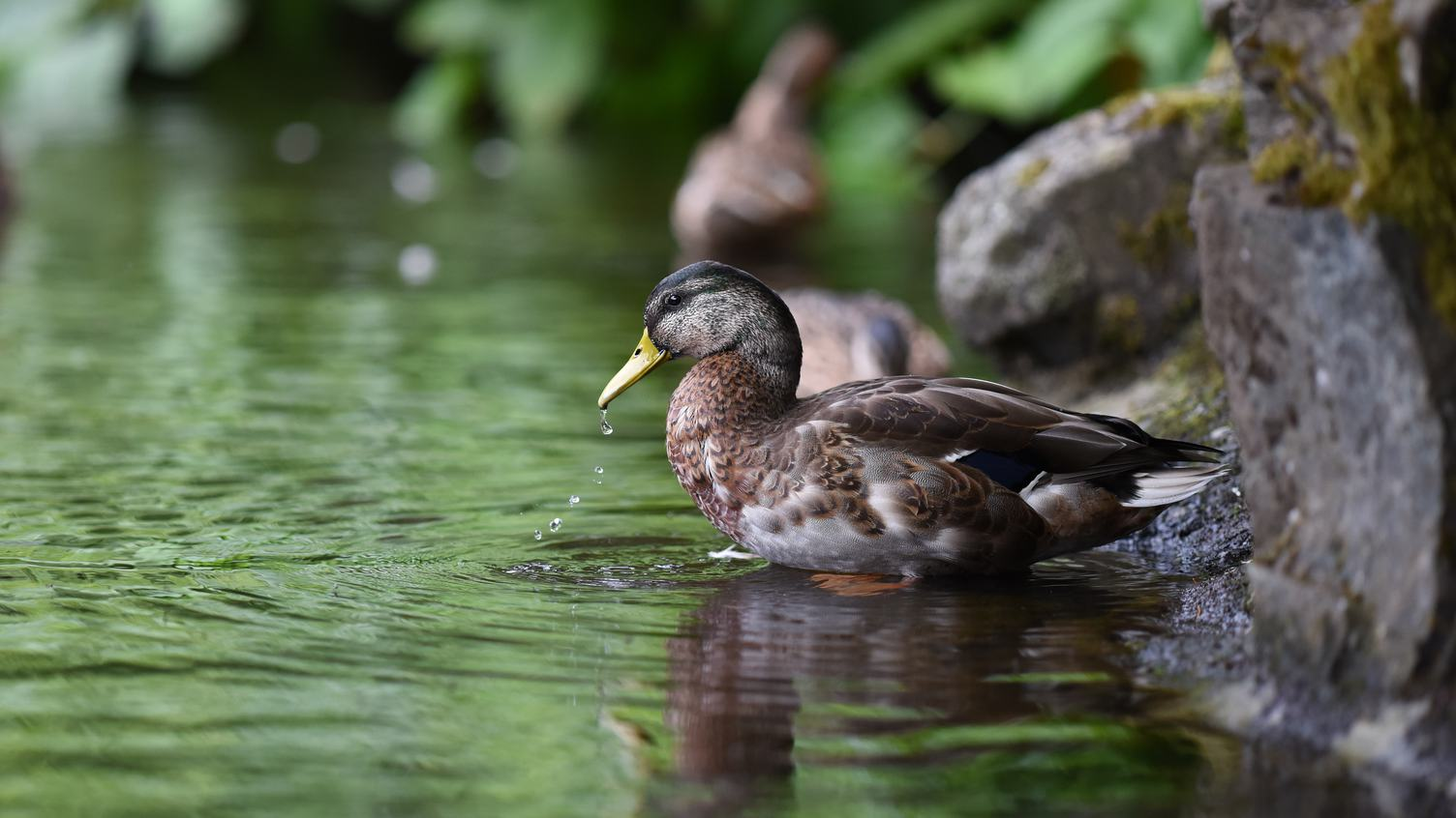 Portrait of a Female Duck on the Water
