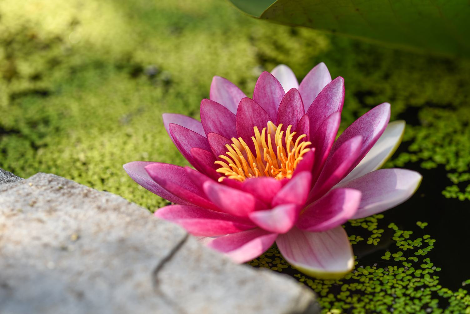 Pink Water Lily and Duckweed in the Pond