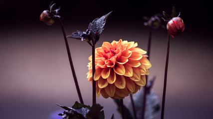 Orange Dahlia Flower and Buds