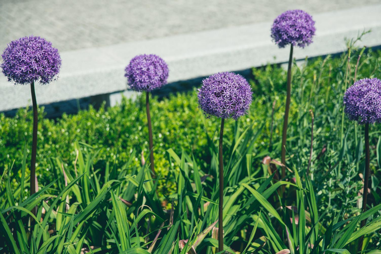 Blooming Allium Giganteum