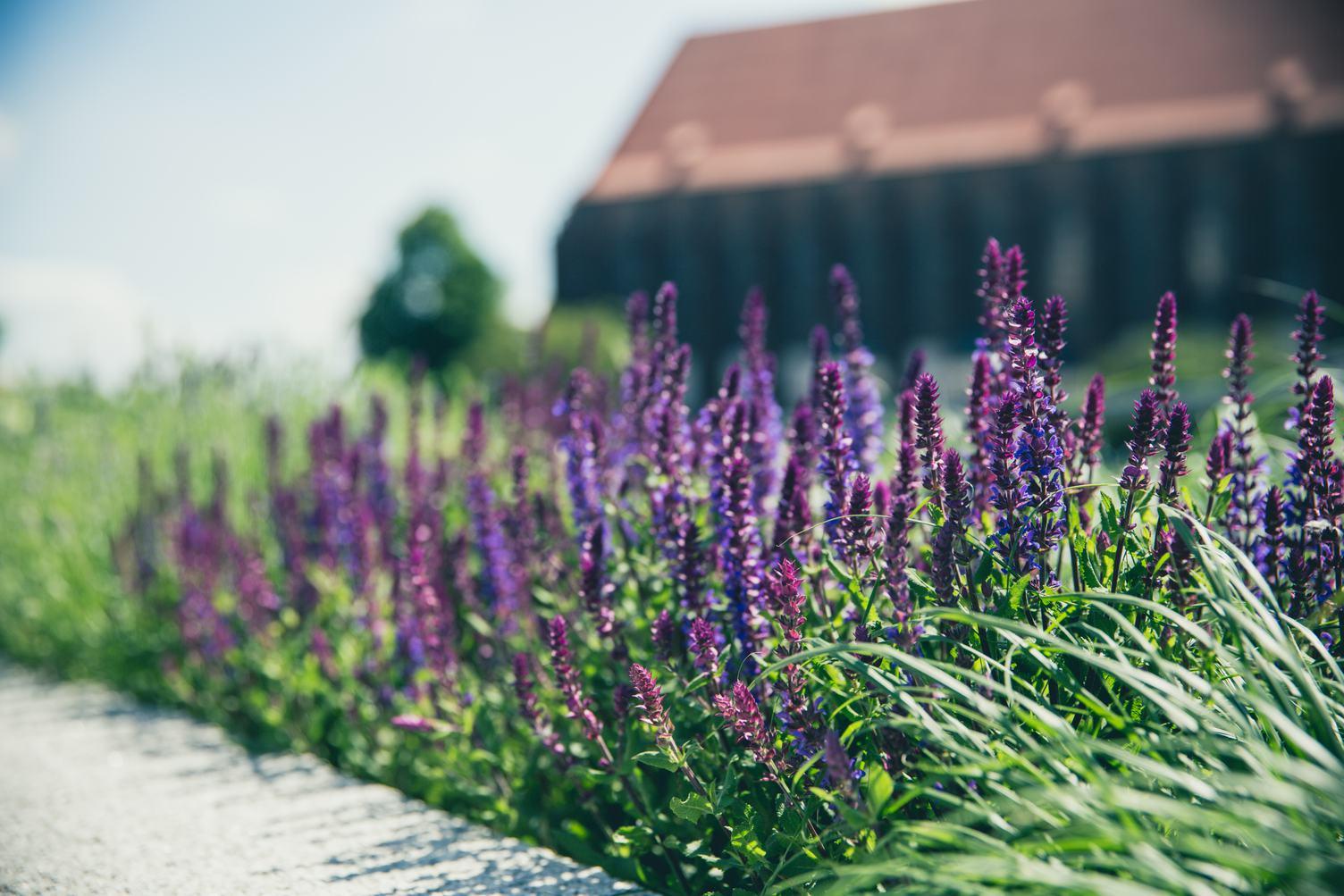 Sage Violet Herb Flowers