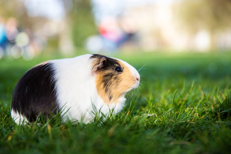 Cute Guinea Pig in the Grass