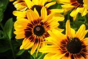 Bee on Black Eyed Susan Flowers