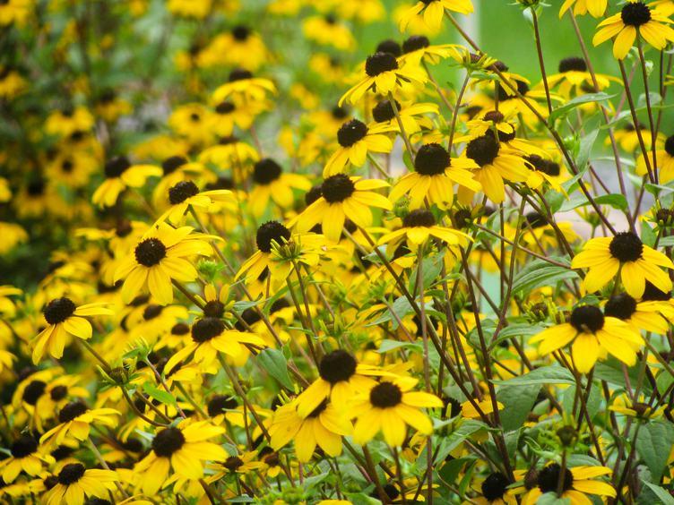 Rudbeckia Flower in the Garden