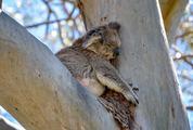 Koala Bear Sleeping on a Tree