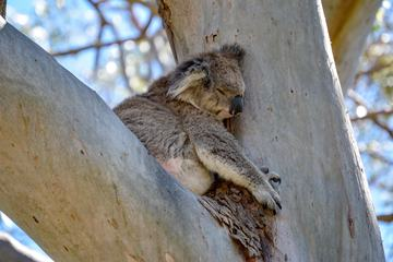 Koala Bear Sleeping on a Tree