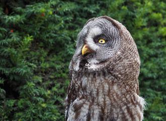 Brown Owl Portrait