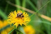 Bee Collects Nectar on a Dandelion Flower