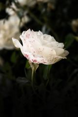 Single White Rose with Pink Spots