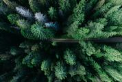 Conifer Forest Seen from the Bird's Eye View