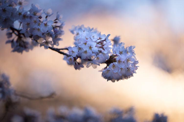 Sakura Flowers Japan Symbol