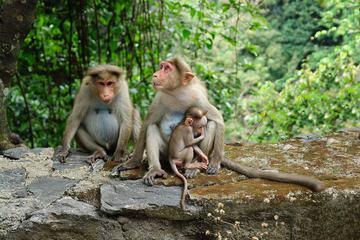 Three Macaques Monkey Family