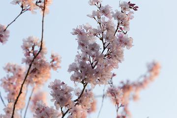 Japan Cherry Blossom Flowers