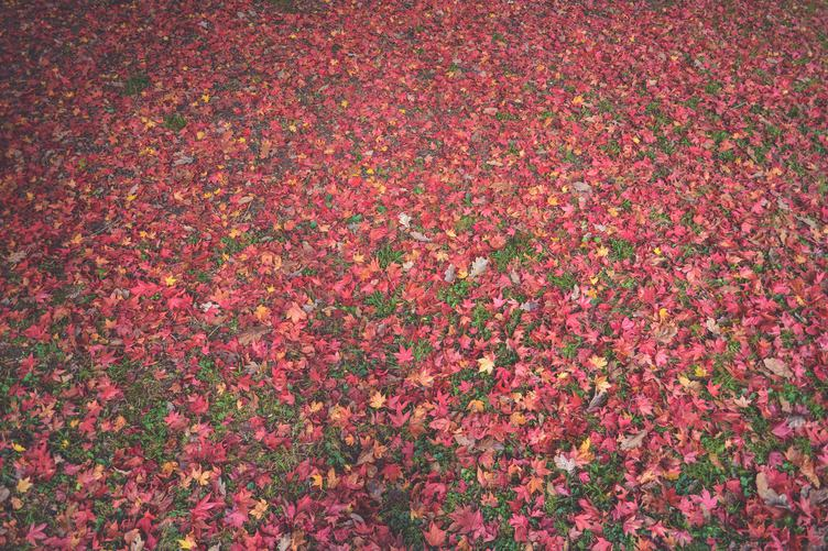 Autumn - Lawn Covered with Red Leaves