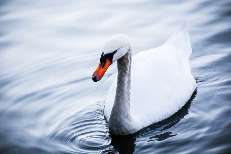 Portrait of Swan in Water