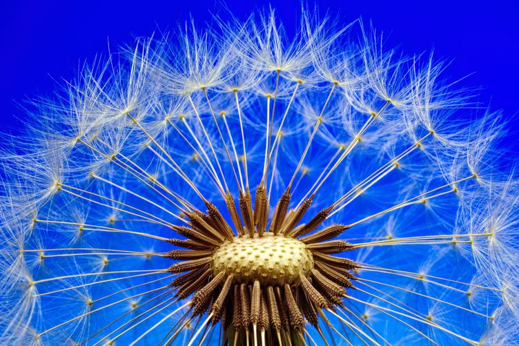 Amazing Closeup of Dandelion