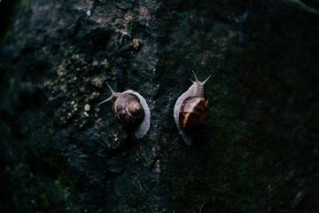 Two Roman Snails on a Walk