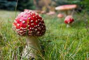 Amanita Mushrooms in the Grass