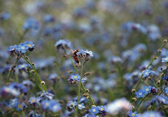 Bee on Blue Forget-me-not Flowers