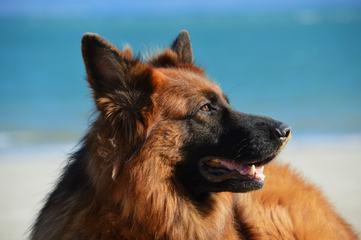 German Shepherd Dog against Blue Sky