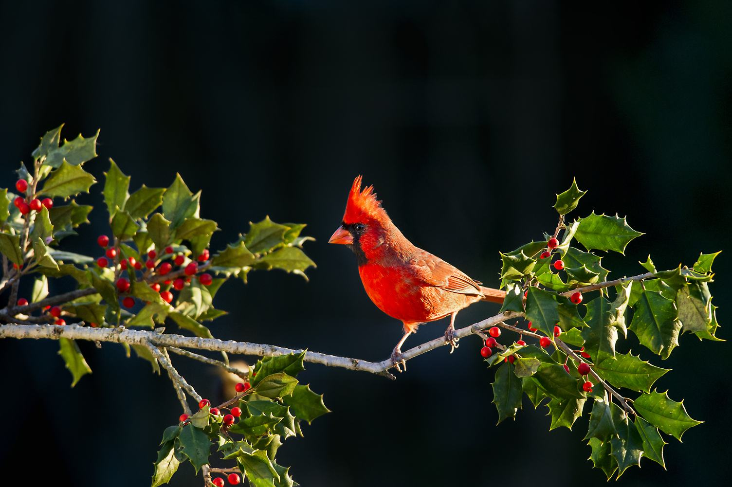 Male Northern Cardinal on Branch of Holly Tree