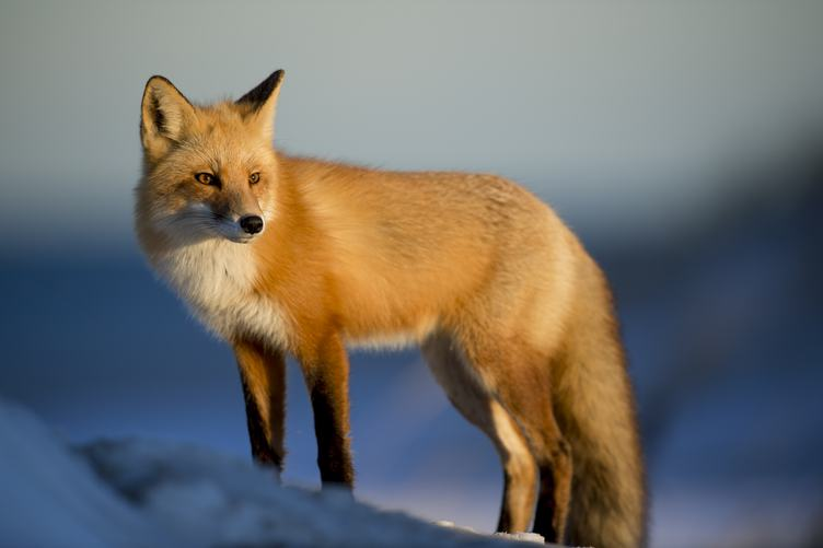 Winter Portrait of Fox