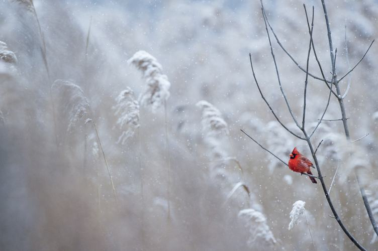 Northern Cardinal Sitting on the Branch While It's Snowing