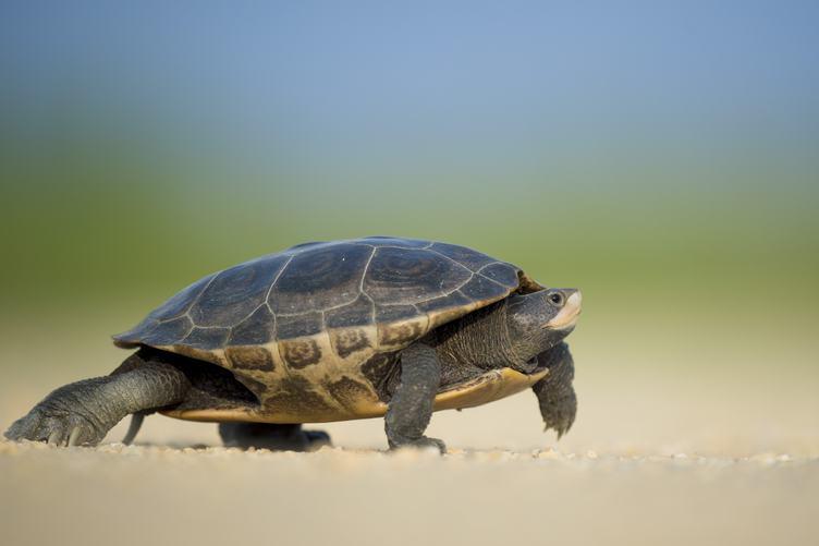 The Turtle Walks