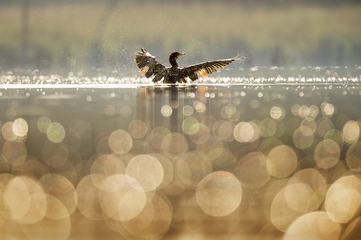 Cormorant Flaps Its Wings Dry as the Early Morning Sun