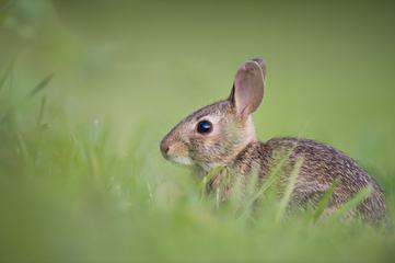 Little Rabbit on the Grass