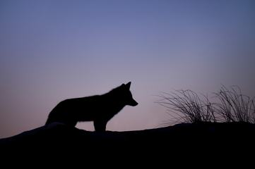 Fox Silhouette at Sunset