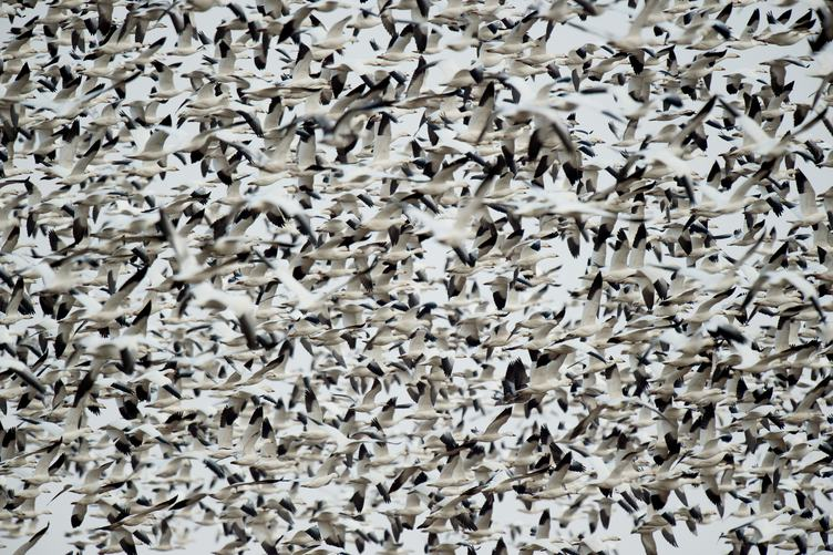 Large Flock of Birds in the Sky