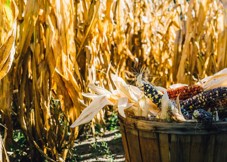 Basket Full of Corn Cobs at the Harvest