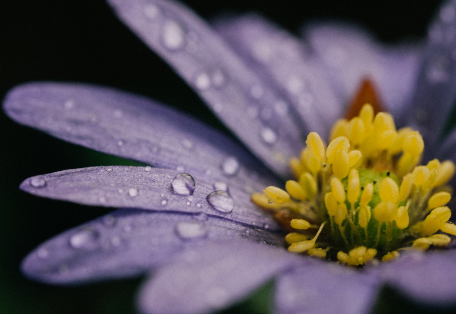 Wet Violet Flower with Yellow Anthers Closeup