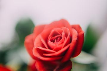 Red Rose Flower in the Garden