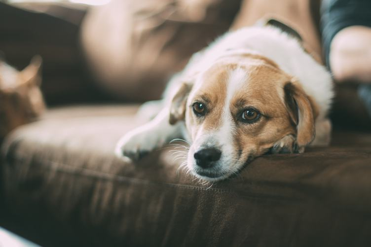 Dog Lying on a Sofa