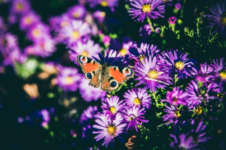 European Peacock Butterfly on Violet Chrysanthemum Flowers