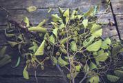 European Black Alder Branches