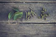 Alnus Glutinosa Leaves, Flowers and Fruits