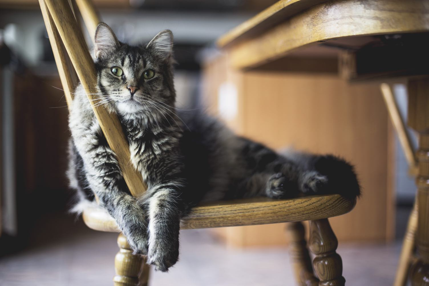 Cat Rests on a Chair