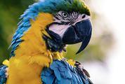 Portrait of Macaw Parrot